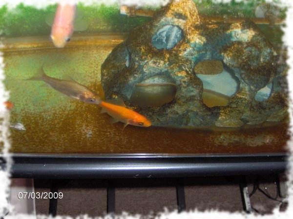 коричневые водоросли в аквариуме