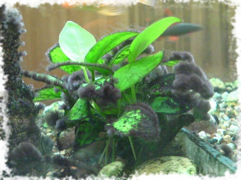 черные волосинки в аквариуме
