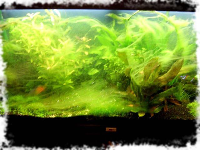 водоросль ризориум