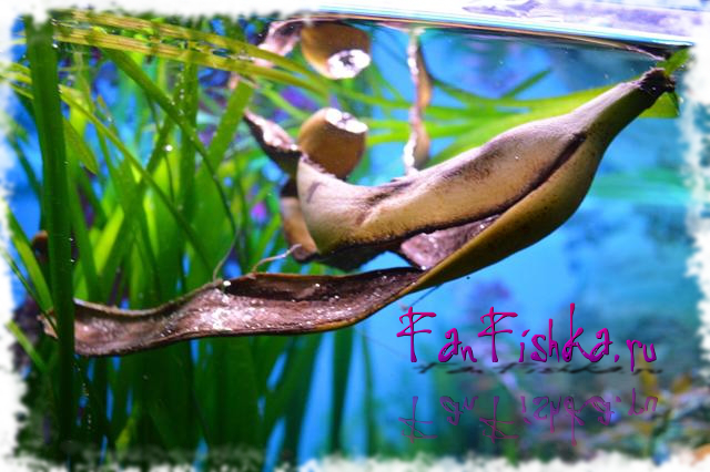 Улитки катушки в аквариуме польза или вред
