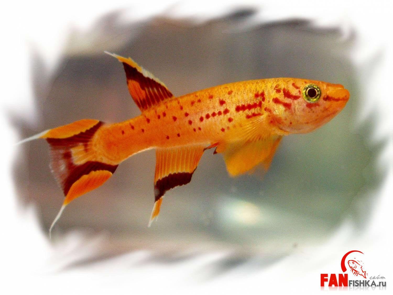 аквариумные рыбки красного цвета