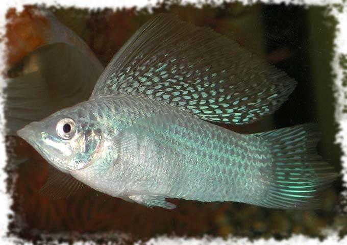 Аквариумные рыбки хищные аквариумные