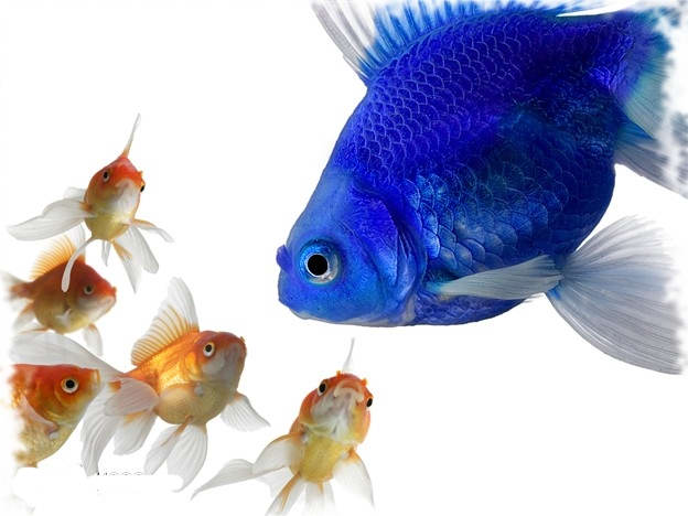 С кем уживаются золотые рыбки в аквариуме