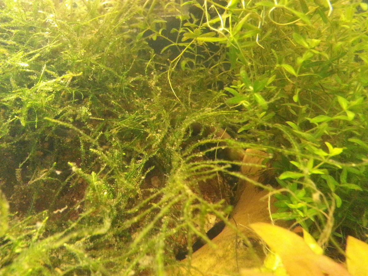 Выращивание мхов аквариумных 51