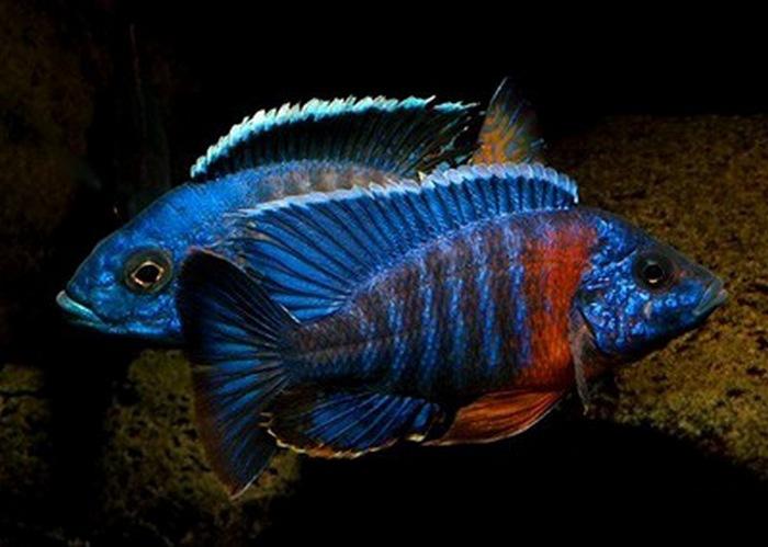 Аквариумная рыбка астронотус содержание совместимость