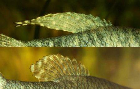 На фото показаны отличия самца и самки гурами