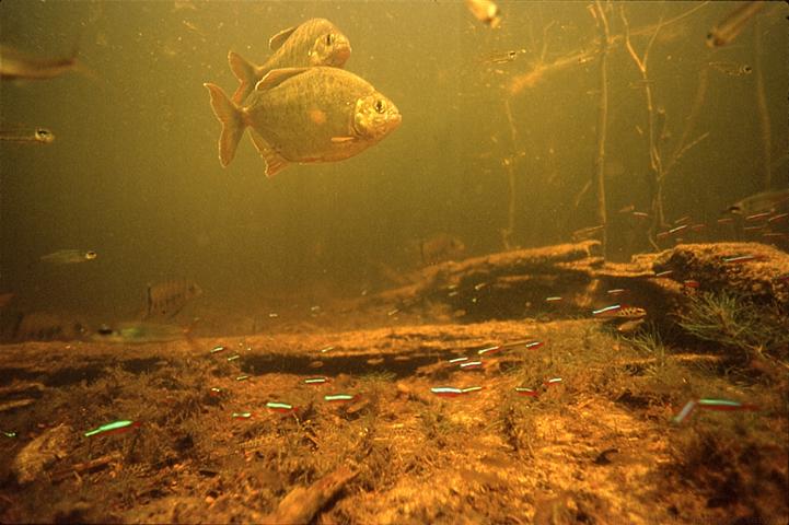 Amazon River Aquarium Fish Crazywidow Info