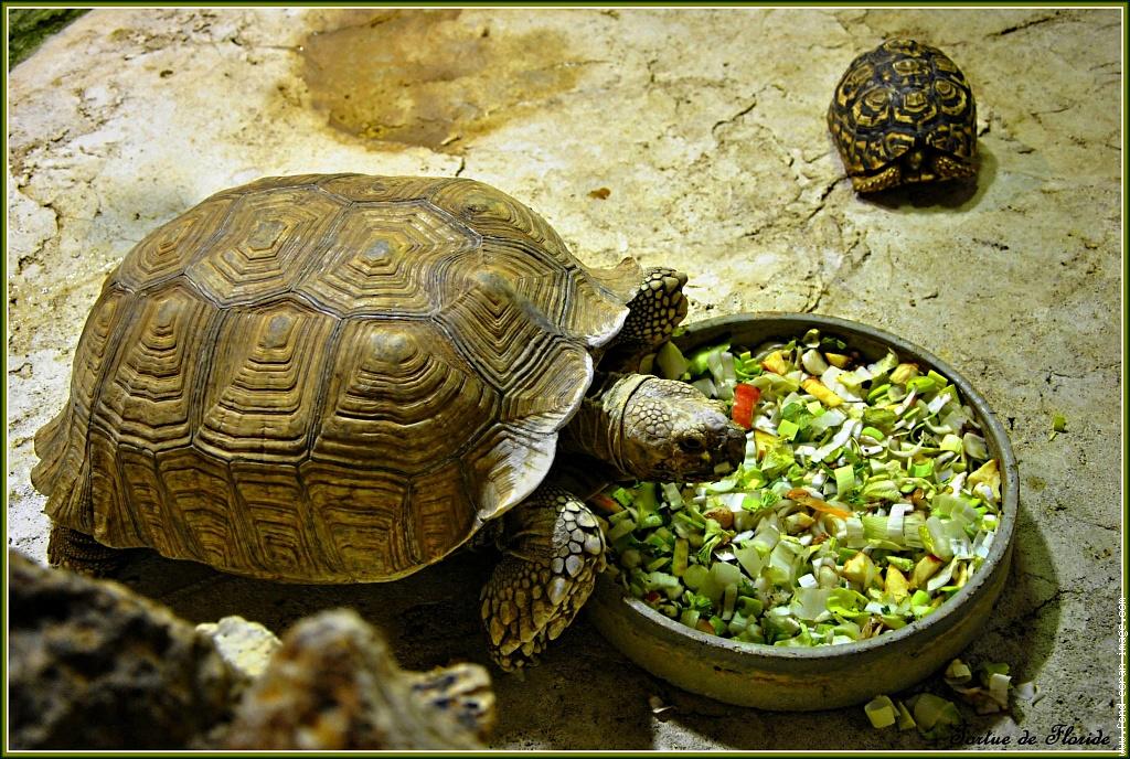 Чем кормят маленькую красноухую черепаху в домашних условиях 107