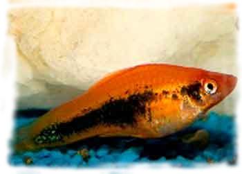 болезни рыбок фото названия