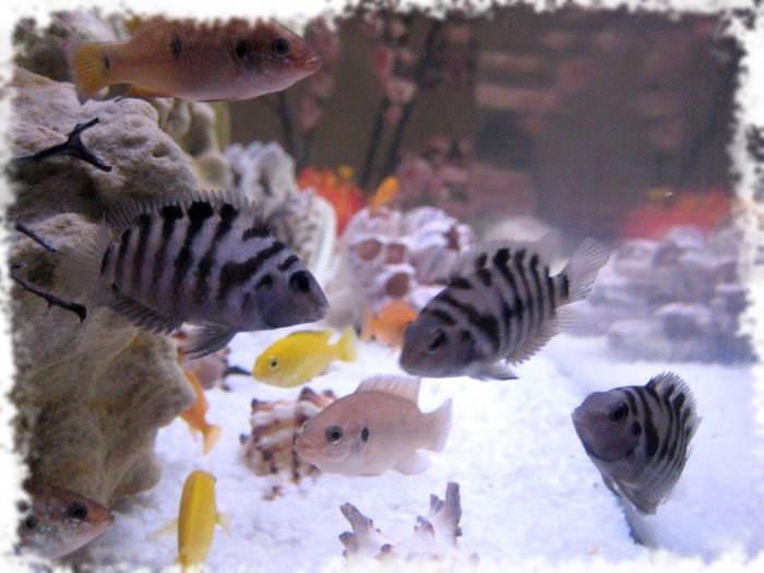 фото рыбки чернополосой