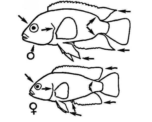 """Цихлазома Смарагдовая, Цихлазома Винная, Бражник Винный, Цихлазома Красса (Cichlasoma Temporale): Содержание И Уход - Семейство рыб """"Цихлиды, или цихловые (Cichlidae)"""""""