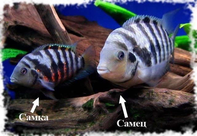 На фото половые различия самца и самки цихлазомы чернополосой