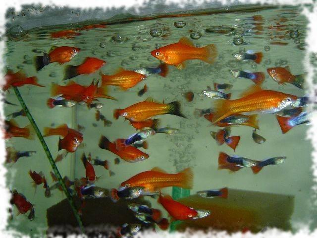 Сколько живут меченосцы в аквариуме