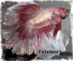 С кем уживаются петушки и можно ли держать самца и самку в одном аквариуме