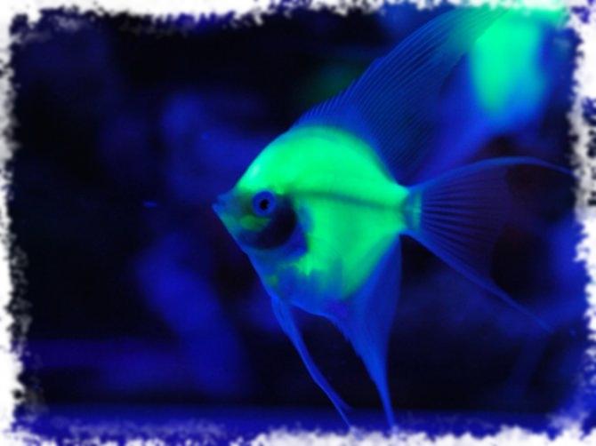 Скалярии, совместимость с другими рыбами