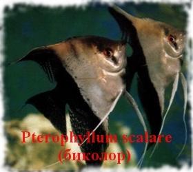 Скалярия (Pterophyllum scalare)