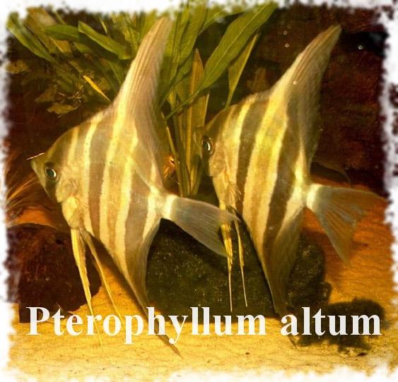 скалярия альтум
