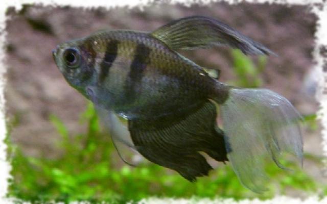 Какие болезни бывают у рыбок тернеция