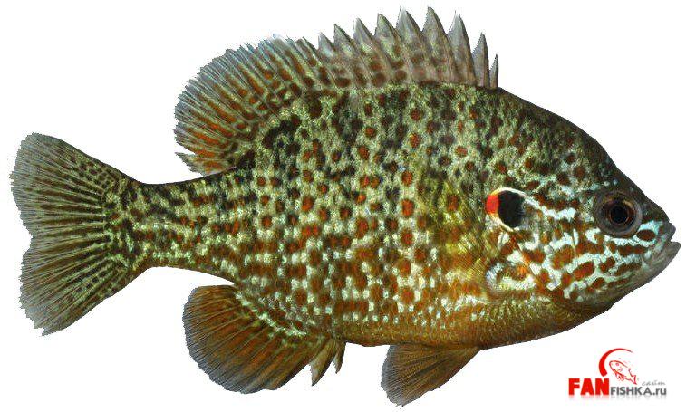Золотые рыбки окунь фото