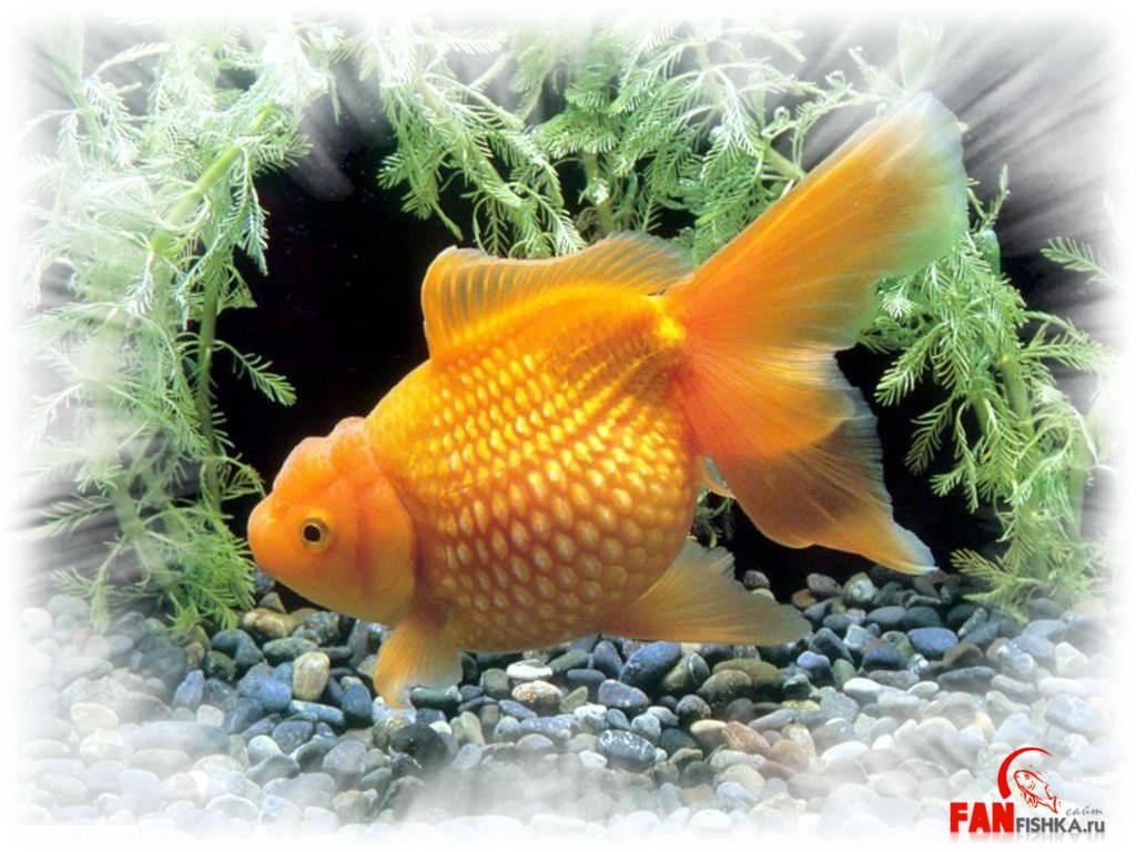 фото рыба жемчужина