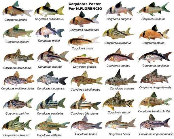 Панцирные сомики рыбки для нано аквариума