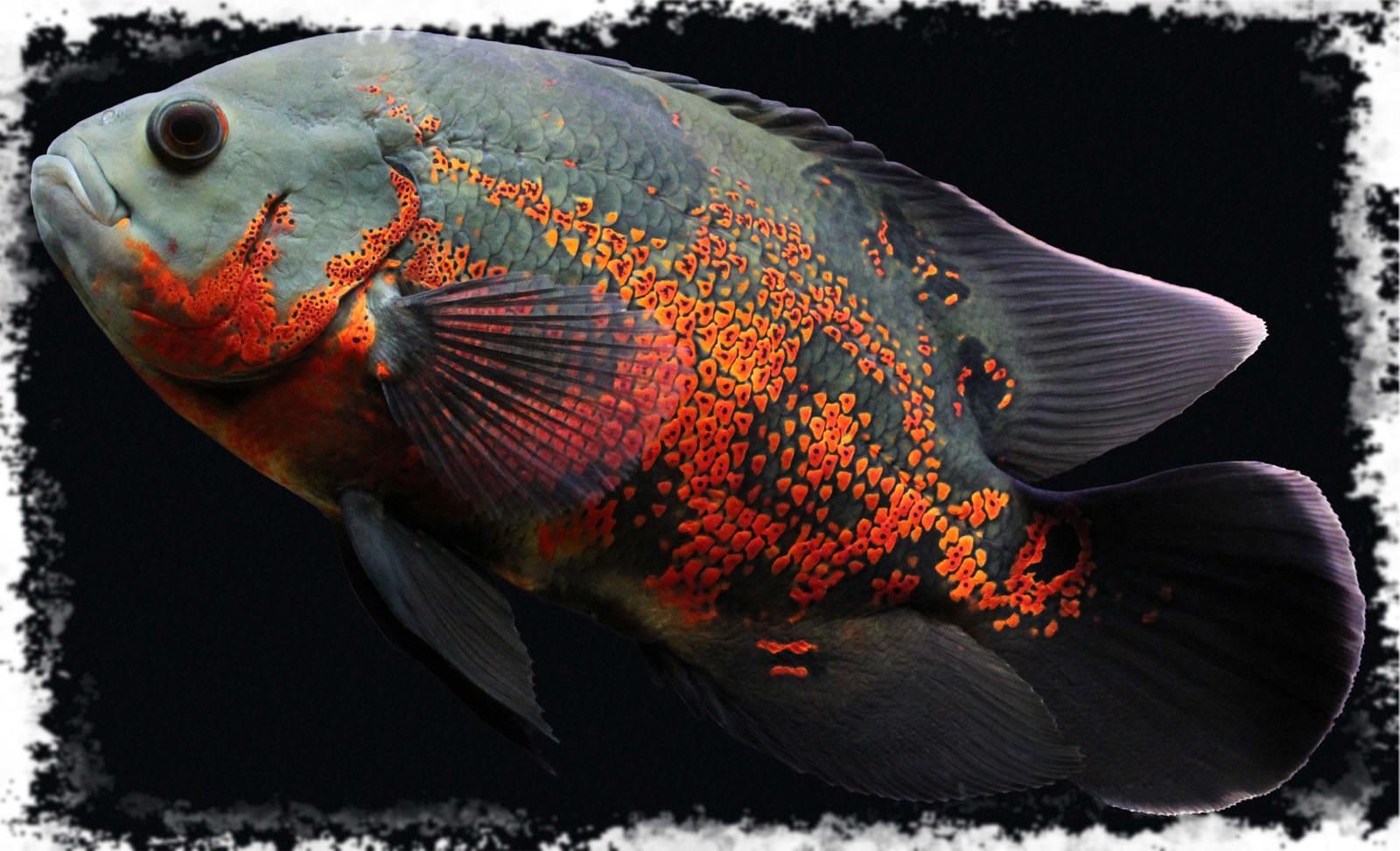 большие хищные рыбы название фото аквариумные это необычное