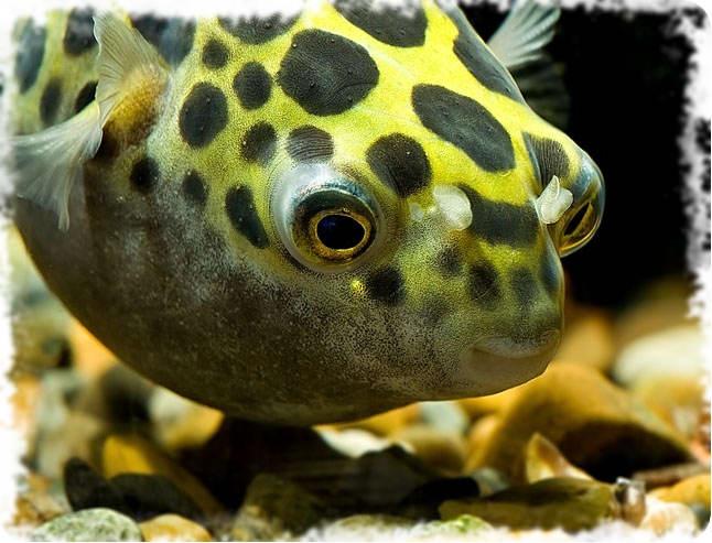 рыбки аквариумные хищники фото и название