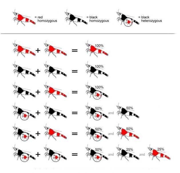 вариации срещевания креветок кристалл