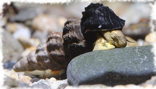 тиломелания селибикола