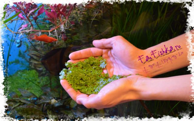 растительная пища для рыбок