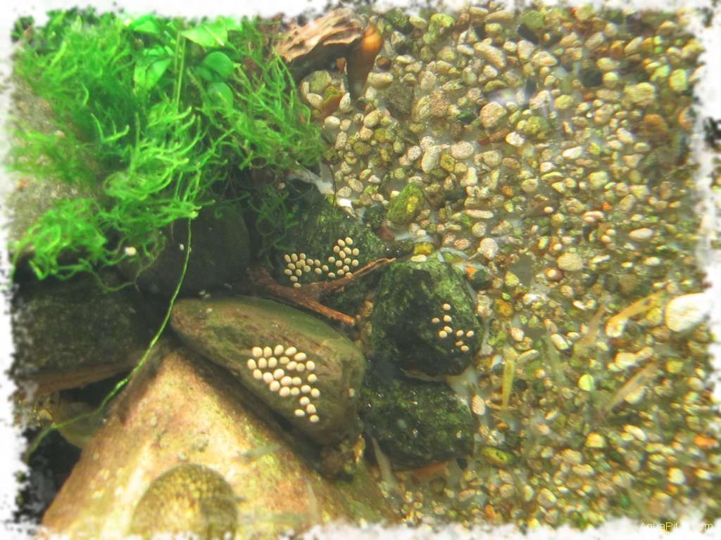 Улитки для аквариума какие лучше чистят