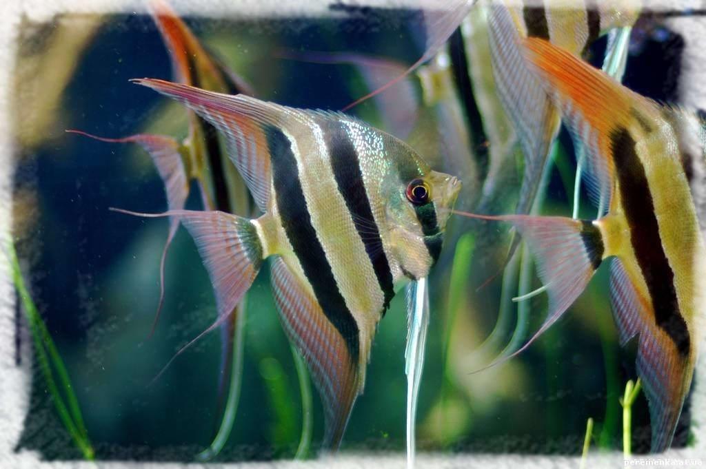 аквариумные рыбки скалярии фото с названием