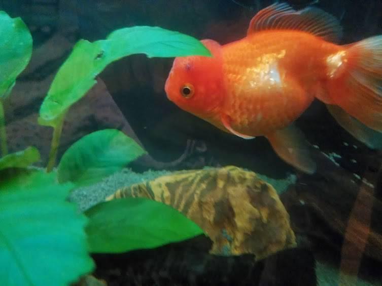 У золотой рыбки дырка в хвосте