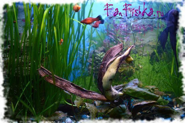 Как избавится от улиток в аквариуме