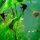 Тернеция карамелька - мультиколор - последнее сообщение от Angelfish