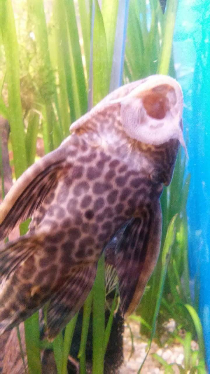 Плекостомус (Hypostomus plecostomus) | описание, содержание | 1600x900