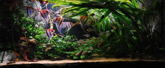 Аквариум со скаляриями фото