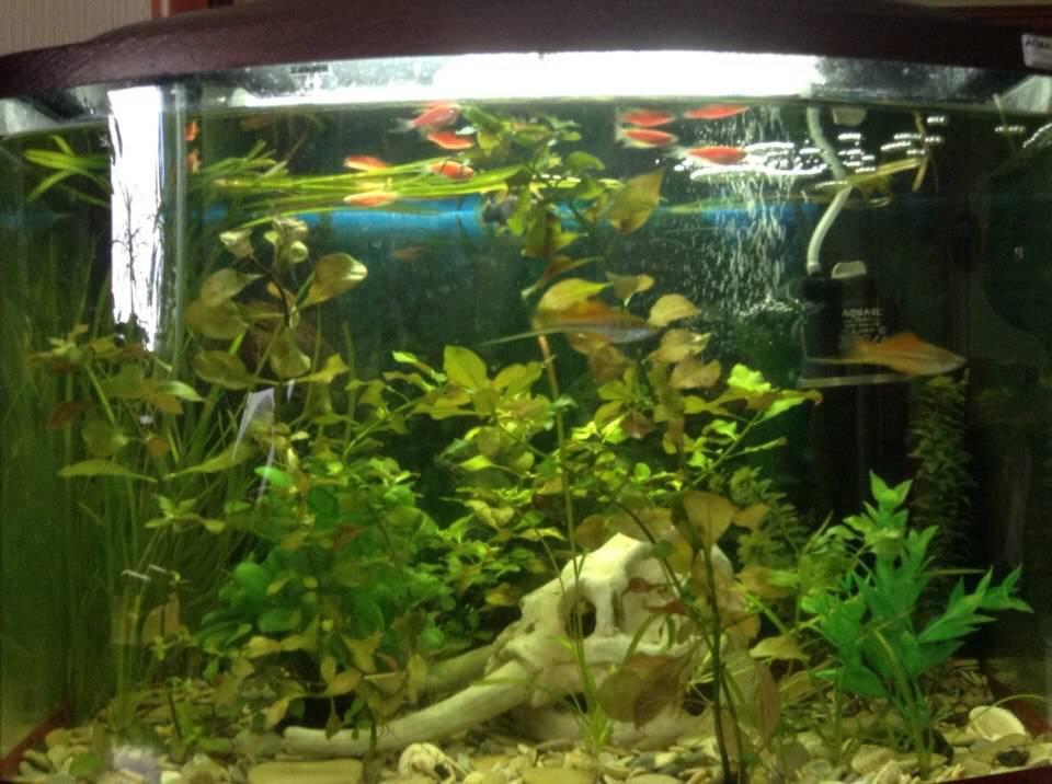 На этих снимках у рыбок почти стрессовая окраска даже в аквариуме без других рыб