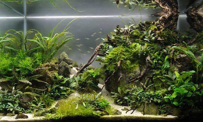 буцефаландры Почвопокровные низкорослые аквариумные растения