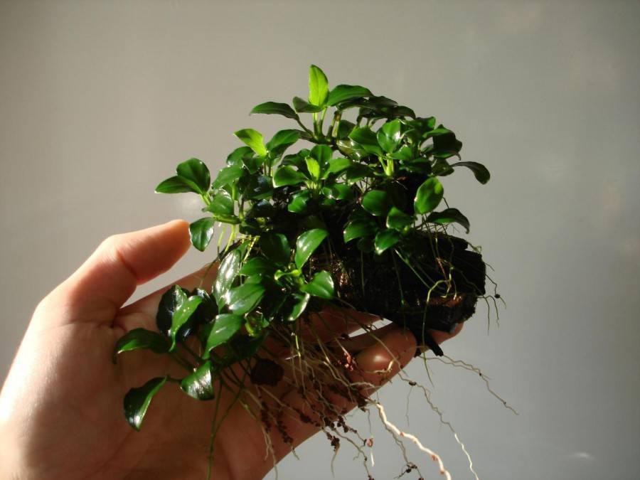 анубиас Почвопокровные низкорослые аквариумные растения