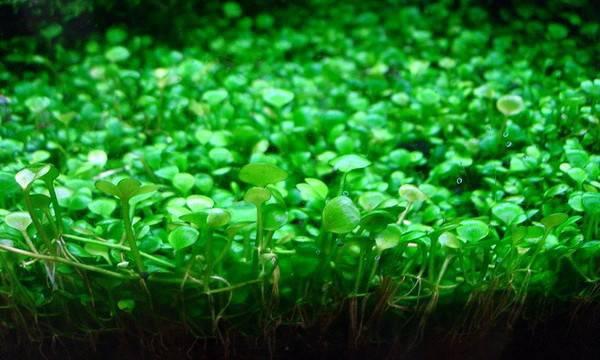 марсилия Почвопокровные низкорослые аквариумные растения