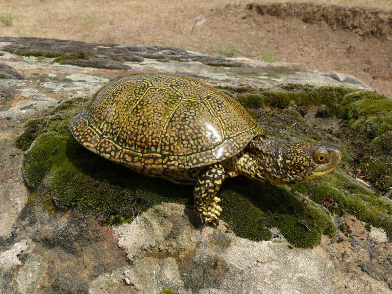 никаких хороших болотная черепаха фото глинистый грунт добавляют