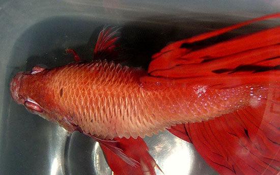 У рыбки петушка оттопырилась чешуйка