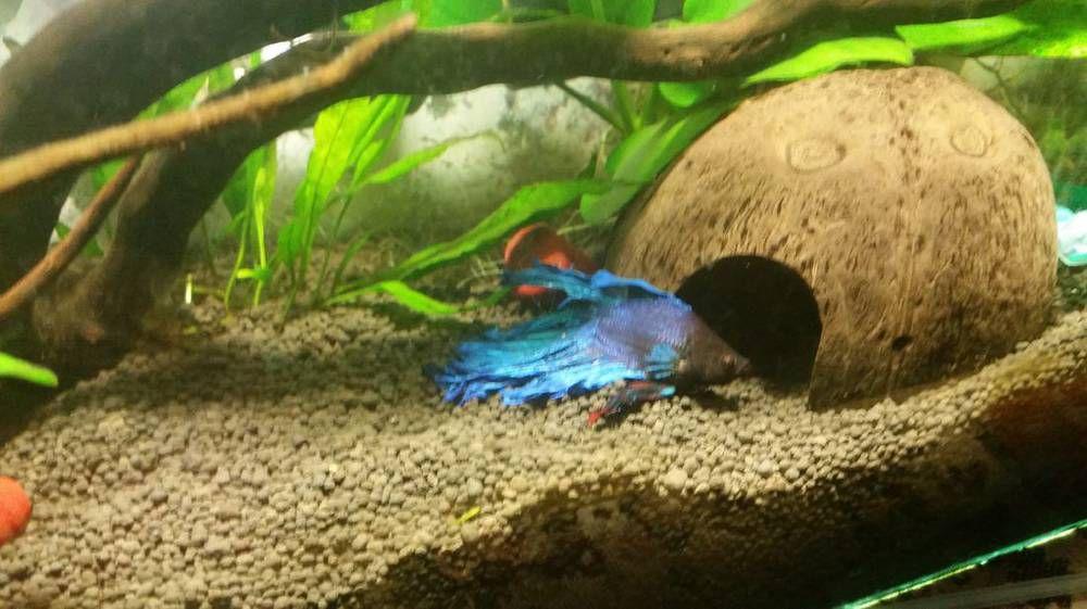 Рыбка петушок лежит на дне