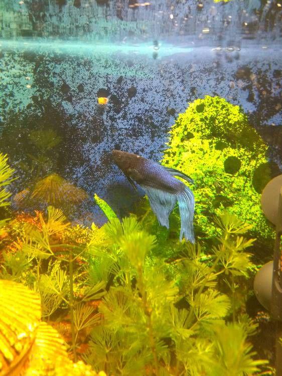 Белое пятно у синего петушка рыбки