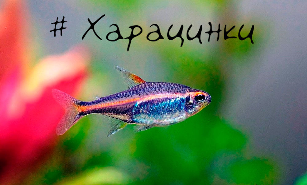 Харациновые рыбки для нано аквариума