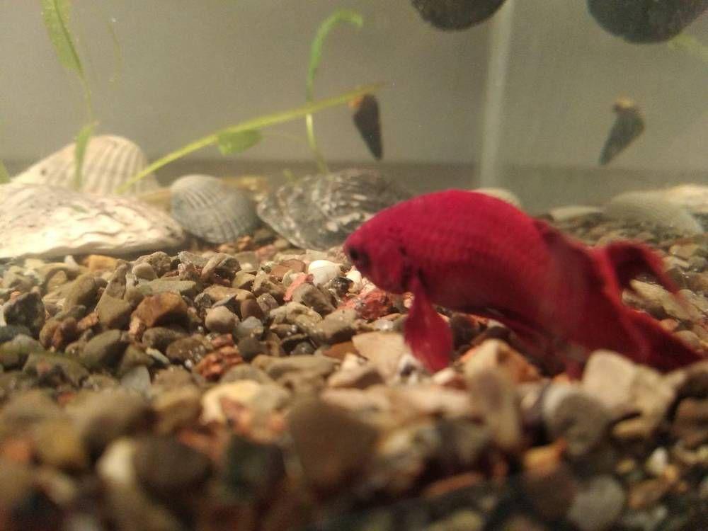 Петушок лежит скорчившись на дне аквариума