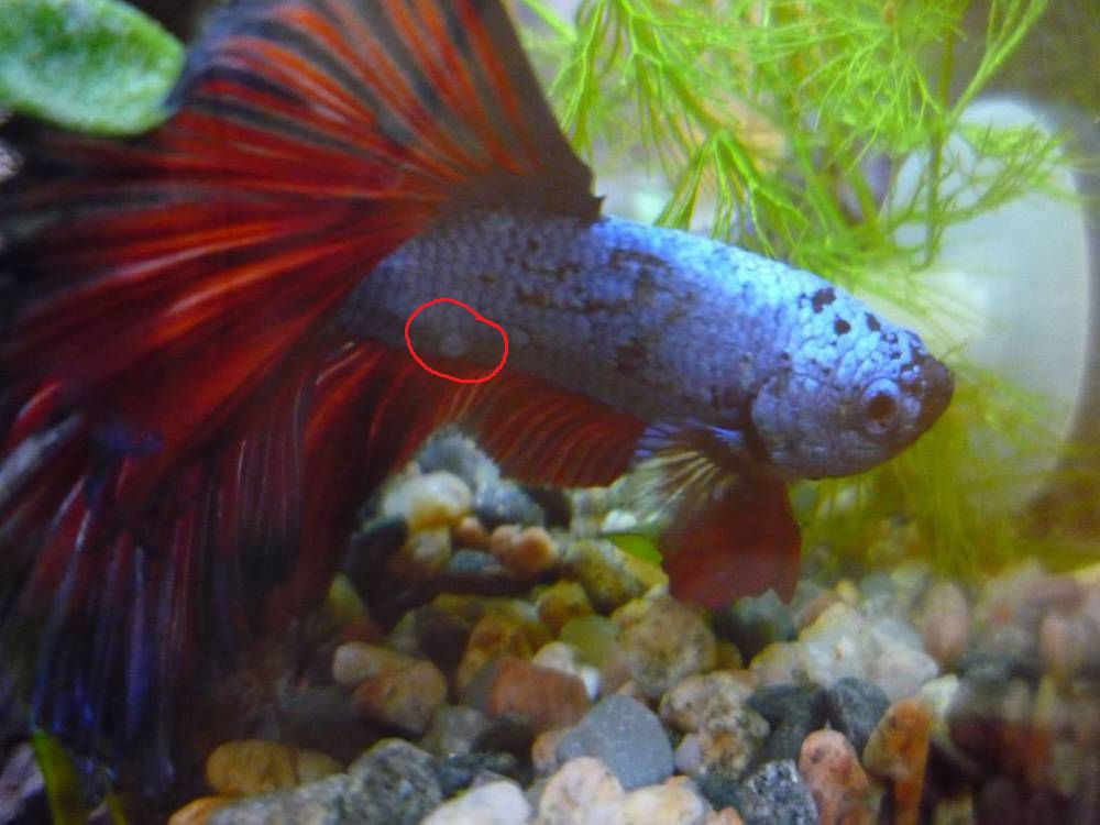 Что с чешуёй у рыбки петушка, как лечить