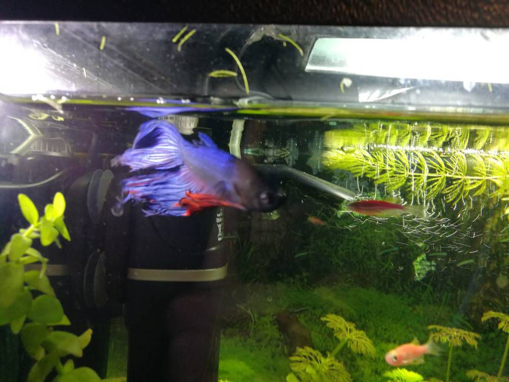 У рыбки петуха отваливаются плавники