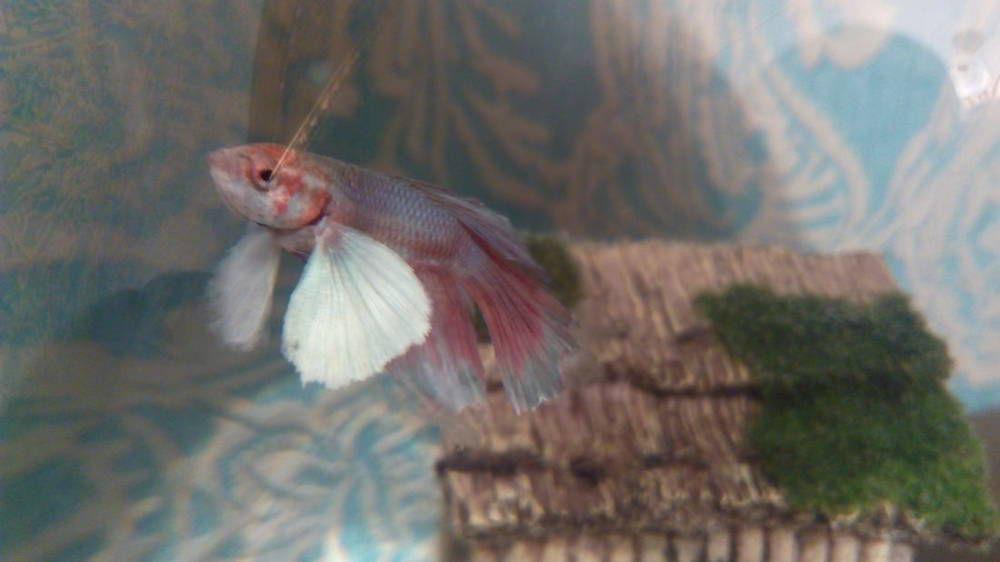 У рыбки петушка какая-то штучка на кончике хвоста